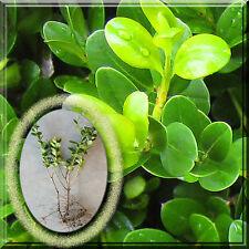 "18 Winter Gem Wintergem Boxwood Microphylla var. Japonica Buxus 9"" Plant Root"