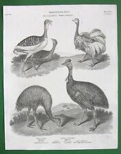BIRDS Ostrich Bustard Casowary - 1820 Antique Print A. Rees