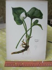 Vintage Print,BOG ARUM,Native Flower+Ferns US,Prang,1879