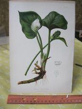 Vintage Print,BOG ARUM,Native Flower+Ferns US,Prang,1879