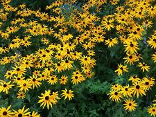 20,000+BLACK EYED SUSAN SEEDS American Native Wildflower Butterflies Bees Bulk