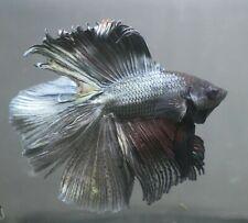 New listing live betta Tropical Betta Fish-Double Tail betta F70