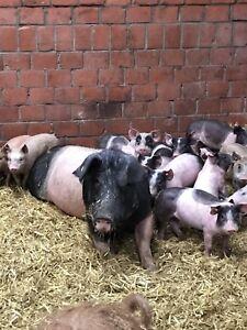 7 kg Schweinefleischpaket Schweinefleisch Fleischpaket  vom Bauern € 7,00/ 1kg
