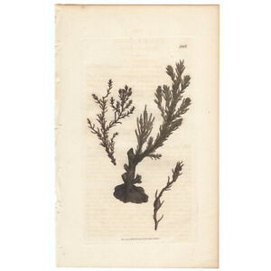 Sowerby antique 1st ed 1809 hand-colored engraving, Pl 1968 Heath-like Fucus