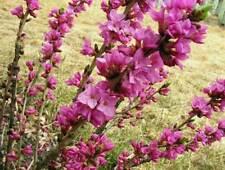 Daphne mezereum Garland Flower Paradise 8 seeds