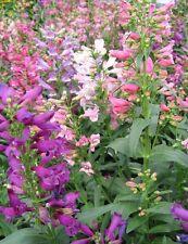 50+ PENSTEMON RONDO MIX FLOWER SEEDS / BARBATUS / HUMMINGBIRDS /  PERENNIAL