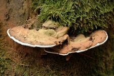 "DRIED ""Tinder fungus"" MUSHROOM MYCELIUM SPORES SEEDS GANODERMA APPLANATUM"