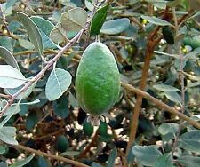Pineapple Guava (Feijoa sellowiana 'Nazemetz') Tropical Fruit Trees