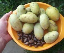Asimina triloba – paw paw - fresh seeds from Russia, from cultivated varieties