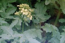 50 Semi nero Senape,Brassica nigra#603