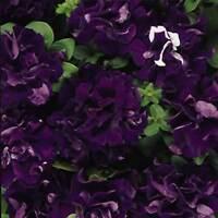 PETUNIA - DOUBLE CASCADE FLOWER GARDEN SEED -1000 PELLETED SEEDS  - ANNUAL