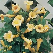 25+ Yellow Trumpet Vine Seeds - Campsis radicans 'Flava'- harvested 12/20