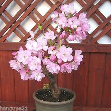 Cherry Seeds,Potted Bonsai Plant Seeds Japanese Sakura Tree 10Pcs Cute Beautiful
