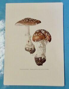Planche poster art print Affiche Botanique Champignon Amanite Panthère
