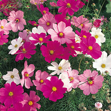 Liveseeds - COSMOS - DWARF MIX 50 FLOWER SEEDS - BULK
