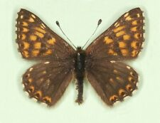 HAMEARIS LUCINA*****male*** MAZEDONIA(Unmounted/papered)