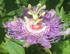 Delicious Cold Hardy Passionfruit Seeds (Passiflora incarnata) [50 Fresh Seeds]