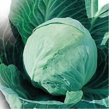 Seeds Cabbage Kharkov Winter Green Vegetable Organic Heirloom Russian Ukraine