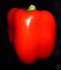 "50+ Giant Deep Red Sweet Bell Pepper Seeds 4"" Wide Organically Grown Solid Flesh"