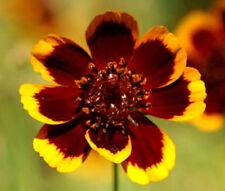 COSMIDIUM BRUNETTE Cosmidium Burridgeanum - 500 Bulk Seeds