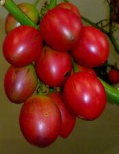 TOMATE Tamarillo cyphomandra betacea auch für Topf. Zimmer, Baumtomate