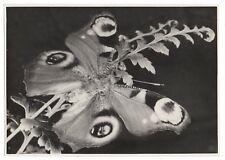 PHOTO ANCIENNE Insecte Beau Papillon Portrait de Vers 1950 Gros plan