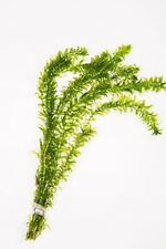5 - 2500 Strands / Oxygenating Pond Water Plants - Egeria Densa