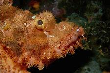 634098 Scorpion Fish Cebu Philippines A4 Photo Print