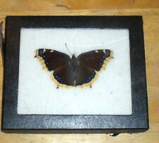 Mourning Cloak Real Butterfly display, mounted and framed in case, vintage item!