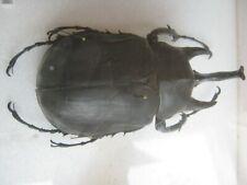 Riesennashornkäfer Dynasidae Megasoma sp. from Peru-nice huge specimen.