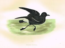 """Morris's Sea Birds - Hand Colored Lithograph - """"STORMY PETRELL"""" - 1857"""