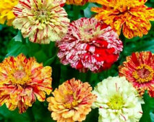 Mixed Zinnia Seeds, Candystripe, Heirloom Zinnia Seed, Non-Gmo Flower Seed, 50ct