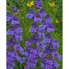 * Rocky Mountain Penstemon Seeds * Bright Blue * Great Display! *