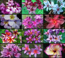 "Plumeria/Plants/Flowers/""Mixed 12 Types"" Fresh 250 Seeds"