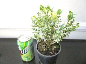 Dwarf Variegated leaf English boxwood for mame shohin bonsai tree multi listing