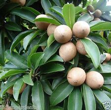Live Hybrid Grafted Sweet Pouteria Sapota Thai Chikoo Fruit Plant 1 Plant