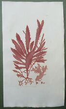 Red Seaweed Ciliated Fucus Antique Print Sowerby 1st Edition Hand Colour 1802