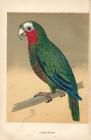 Antique Color Plates (Holden, 1888) – Cuban Parrot
