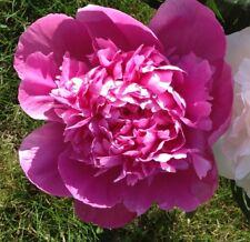 Raspberry Sundae Peony - Pink Flowers 3-5 Eye Established - 1 Plant 1 Gallon Pot
