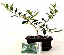Olive Tree Bonsai with Water Tray and Fertilizer Easy To Care Indoor / Outdoor