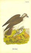 Rare 1890 Antique Audubon Bird Print ~ Fish Hawk or Osprey ~ Striking!