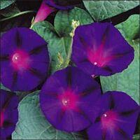 Morning Glory- Grandpa Ott- 100 Seeds- BOGO 50% off SALE