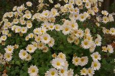 Dendranthema (perennial chrysanthemum) - Amber Moon Global Warming