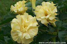 24+ LARGE Triple Yellow Devil's Trumpet / Datura Seeds Fragrant Unusual