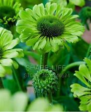 60pcs 'Green Jewel' Echinacea Flower Seeds, Coneflower Bonsai Seeds