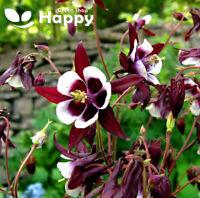 COLUMBINE WILLIAM GUINNESS - Aquilegia Vulgaris - 100 seeds - Perennial - MAGPIE