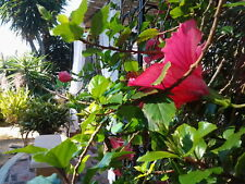 Exotic Fresh baby Hibiscus Tea leaves - 1 Gallon of fresh BABY tender leaves!