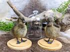 I54 Standing taxidermy Oddities Curiosities CAYUGA DOMESTIC baby duck display
