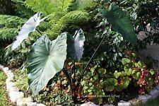 Colocasia Fontanesii Iturraran- 1 plant en pot - rustique - hardy