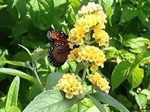 Buddleia YELLOW HONEYCOMB Butterfly Bush weyeriana Summer Lilac Fragrant Flowers
